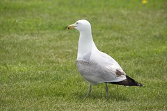 Ringleader (gingerj102) Tags: seagulls seacoast gulls