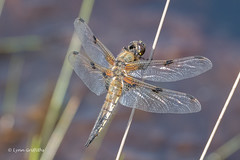 Four Spotted Chaser 501_0151.jpg (Mobile Lynn) Tags: fourspottedchaser nature dragonfly insects fauna insect wildlife elstead england unitedkingdom gb