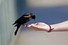 HAND OUT (ddt_uul) Tags: hand blue black redwingedblackbird arm dof