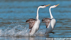 Dancing (Rushing) Clark's Grebes (Let there be light (A.J. McCullough)) Tags: birds oregon grebe clarksgrebe rushing dancing dancinggrebes putnamspoint klamathfalls featheryfriday
