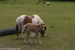 """""""mother and child in the meadow"""" (Fred / Canon 70D) Tags: canon canon70d canoneos sigma18300mmf3563dcmacrooshsmc sigma zwolle animal meadow pony overijssel foal"""