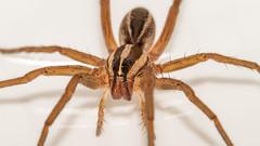 Wolf Spider (NeilCastle) Tags: bug northcarolina spider cary macro wolfspider arachnid bugs
