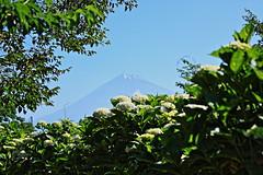 Mount Fuji and Hydrangea (ULTRA Tama) Tags: mount fuji hydrangea mtfuji mtfujiwhc japan shizuoka todays dayliphoto instadaily photogenic igjapan loversnippon worldcaptures flickrfriday welovef june 2018