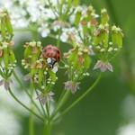 Ladybird P1760475 thumbnail