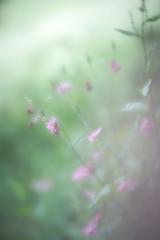 Sweet Columbine (judy dean) Tags: 2018 countryside judydean velvet56 stowonthewold lensbaby walk columbine aquilegia wildflowers