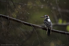 Hairy (Khurram Khan...) Tags: hairywoodpecker woodpecker wildlife wildlifephotography wild wwwkhurramkhanphotocom spring iamnikon nikonnofilter khurramkhan naturephotography birdsphtography