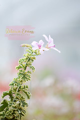 ({rebecca.evans}) Tags: flower flowers pretty nature naturey crap nikon d3200 soft pastel bokeh florabella