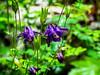 schöne Akelei in einer Bergschlucht (mariomüller1) Tags: natur landschaft landscap blüten blumen farbe panasonic fz200 hiking wandern