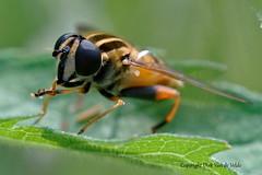 Hoverfly   Helophilus pendulus  ofte pendelvlieg (DirkVandeVelde back , and catching up) Tags: europa europe europ belgie belgium belgica belgique buiten biologie antwerpen anvers antwerp animalia animal mechelen malines malinas vrijbroekpark insekt insects insect insekten sony fauna hoverfly zweefvlieg