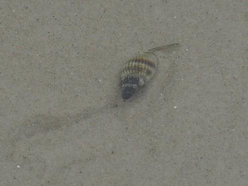 Nassa Mud Snail, Family Nassariidae
