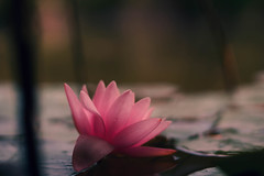 water.lily (_andrea-) Tags: sonyalpha7mii sonya7m2 carlzeiss objektiv outdoor mount lowpov planart1450 zeissplanar seerose waterlily sonyphotography