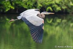 great blue heron in flight (Andrew Reding) Tags: ardeaherodias