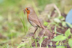 The Daily forage for Food has just gotten easier..:) (law_keven) Tags: robins robin gardens garden raisedbeds avian catford london england wildlife wildlifephotography photography gardenbirds