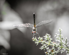 Dragonfly: Tail Up (that_damn_duck) Tags: nikon nature dragonfly insect wings flower