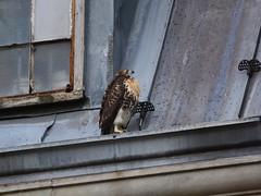 GT Hawk Fledgling 2 - 0919 (rbs10025) Tags: redtailedhawk buteojamaicensis young bird morningsideheights manhattan nyc