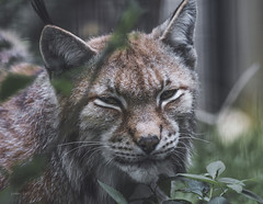 Lynx (Soren Wolf) Tags: kraków cracow zoo nikon d7200 300mm lynx lynxes animal animals big cat cats looking portrait close up