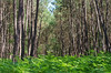Saint-Romain-sur-Cher (Loir-et-Cher) (sybarite48) Tags: saintromainsurcher loiretcher france forêtdegrosbois forêt forest wald غابة 森林 bosque δάσοσ foresta 森 bos las floresta лес orman pin pine kiefer صنوبر 松树 pino πεύκο 松 den sosna pinheiro сосновый çam fougère eğreltiotu samambaia папоротник paproć varen 羊歯 felce φτέρεσ helecho 蕨类 fern farn