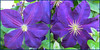 Clematis 9 June 2018 9655-57 (edgarandron - Busy!) Tags: plants flower flowers clematis