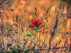 Fence Row Indian Paint Brush (clarkcg photography) Tags: weeds plants parasite pretty red leaves wild nottame crazytuesdaytheme 7dwf sunset light sun goldenhour