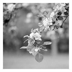 blossom (rcfed) Tags: hasselblad mediumformat film trix rodinal stand development tree bw depth field spring