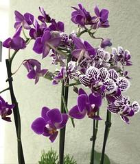 Mini orchids, São Paulo, Brazil. (eROV65) Tags: orquídeas miniorquídeas orchids miniorchids flowers flores nature vase vaso recepção desk adaplan imobiliária sãopaulo sp brasil brazil edifícioitália 13ºandar 13thfloor