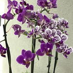 Mini orchids, São Paulo, Brazil. thumbnail