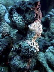 Halgerda willeyi mating and laying eggs (sharksfin) Tags: sudan redsea ocean sea deep south deepsouth rotesmeer marine life
