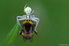 Crab spider vs bombus... (Silvio Sola) Tags: crabspider ragno aracnidi spider bombus insetto closeup silviosola insect