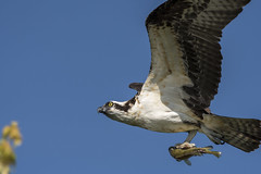 Happy Fathers Day (Rick 2025) Tags: belleisle fishing gonefishing raptors osprey male inflight fish
