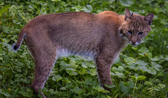 Bobcat (Southern Darlin') Tags: bobcat lynxrufus cat feline cats wild wildlife bigcat bobbedtail predator carnivore canon photography photo animal animals nature naturephotography