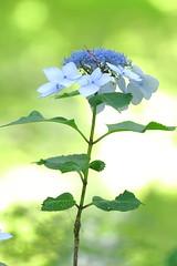 Hydrangea(Elegance) (seiji2012) Tags: 紫陽花 百草園 日野市 ガクアジサイ マクロ ボケ hino macro blur