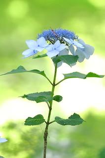 Hydrangea(Elegance)