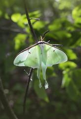 Luna Moth (MecCanon [Insta: JLPhotoOfficial]) Tags: lunamoth moth insect bug entomology insecte polilla phalene papillon thacherpark bokeh green shallowdof canon6d 50mmf18stm