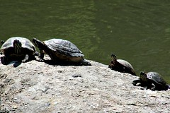 TURTLES (MIKECNY) Tags: rock turtle animal sunbathing water pond centralpark nyc newyork manhattan