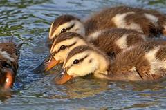 Second Round of Ducklings (NaturalLight) Tags: mallard ducklings feeding chisholmcreekpark wichita kansas