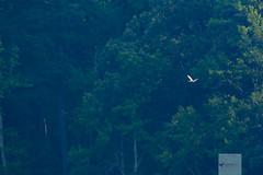 Roseate Spoonbill - Platalea ajaja (AnthonyVanSchoor) Tags: anthonyvanschoor maryland usa roseate spoonbill platalea ajaja calvert county marylandbirding marylandbiodiversityproject marylandrarity birding birdphotography bird birdshare birdwatchingmagazine shorebirds 1st record anne arundel