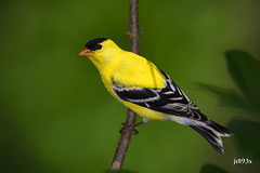 American Goldfinch (jt893x) Tags: 150600mm americangoldfinch bird breeding d500 finch goldfinch jt893x male nikon nikond500 sigma sigma150600mmf563dgoshsms spinustristis thesunshinegroup coth alittlebeauty coth5 ngc