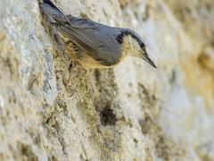 P5260162 (turbok) Tags: kleiber tiere vögel wildtiere c kurt krimberger