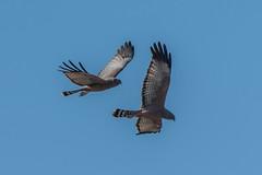 Spotted Harrier (Pair) (Jeff_Warner) Tags: spottedharrier birdsofpray birds birdsinflight nikond500 nikon200500f56
