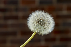 Dandelion (Crisp-13) Tags: dandelion clock seeds head taraxacum officinale