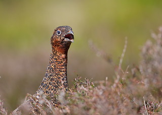 Red Grouse female