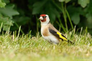 Putter/ European Goldfinch/ Carduelis carduelis