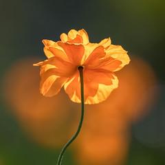 Orange Glow (mclcbooks) Tags: flower flowers floral macro closeup denverbotanicgardens colorado spring