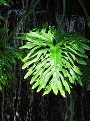 Jungle Leaf (The-Beauty-Of-Nature) Tags: summer june juni nature germany deutschland plants pflanzen green grün lush sunny sun sonne sonnig warm stuttgart wilhelma botanic garden botanischer garten zoo