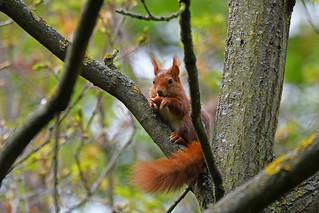 Eurasian Red Squirrel (Bois de Vincennes)