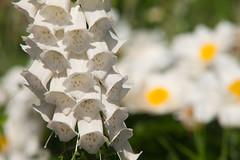"""White Gloves"" (Adam Swaine) Tags: foxglove macro flora flowers naturelovers nature naturesfinest summer london londonparks seasons beautiful macroworld petals canon parks white stamen photography peckhamryepark sexbys"