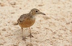 Spike-heeled Lark (zimbart) Tags: africa namibia etosha okaukuejo fauna vertebrata birds aves passeriformes larks alaudidae chersomanes chersomanesalbofasciata spikeheeledlark
