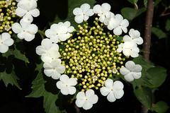 Lodjapuu õisik. Viburnum opulus (Jaan Keinaste) Tags: olympussh1 eesti estonia loodus fauna lodjapuu õisik viburnumopulus inflorescence lodjapuuõisik