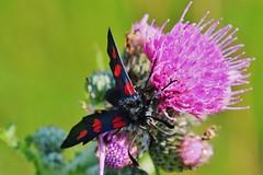 Zygaena filipendulae (Hugo von Schreck) Tags: hugovonschreck macro makro insect insekt butterfly schmetterling widderchen moth canoneos5dsr tamron28300mmf3563divcpzda010