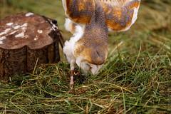 IMG_1669 (TvdMost) Tags: barnowl diesel fotografieworkshop kerkuil owl tytoalba tytonidae uil valkerijschaap birdofprey roofvogel